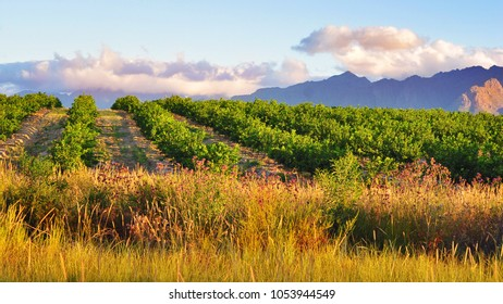 Vineyards and orchards in the golden evening light