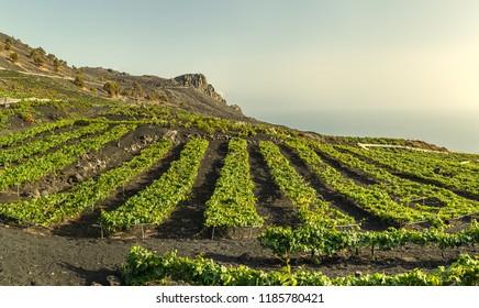 Vineyards over lava fields in Fuencaliente, La Palma, Canary Islands