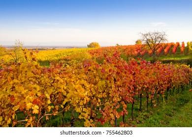 Vineyards in the Pfalz, Germany