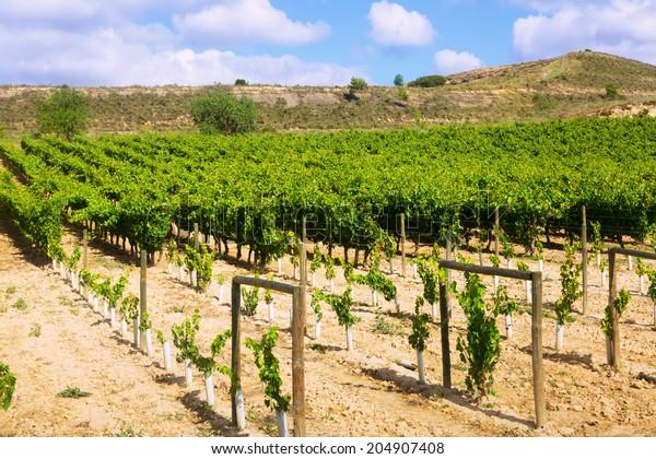 Vineyards plantation. La Rioja, Spain