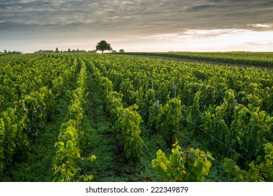 Vineyards in Pommard, near  Beaune, Burgundy, France