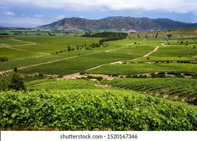 Vineyards producing Chilean wine near Santa Cruz in the Colchagua Valley in central Chile, South America.