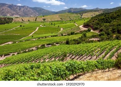 Vineyards producing Chilean wine near Santa Cruz in the Colchagua Valley in central Chile, South America.