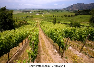 Vineyards producing Chilean wine near Santa Cruz in the Colchagua Valley in central Chile, South America