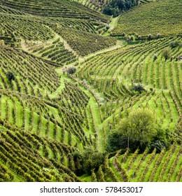 Vineyards of prosecco, Valdobbiadene, Veneto, Italy