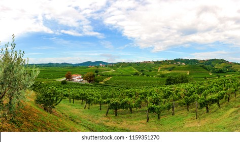 Vineyards with rows of grapevine in Gorska Brda, Slovenia, a famous wine groeing and producing region, becoming also a popular travel destination
