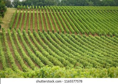 Vineyards of Saint Emilion, Bordeaux France.