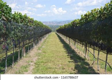 vineyards  of  San miguel de allende
