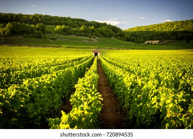 Vineyards in Savigny les Beaune, near Beaune, Burgundy, France