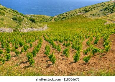 Vineyards, southern coast of Hvar island, west of Sveta Nedjelja, Croatia