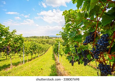 Vineyards in Southern Styria near Gamlitz before harvest, Austria Europe