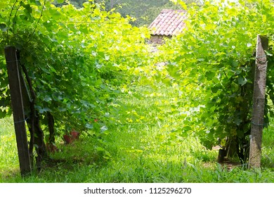 vineyards in spring with green grapes on branches