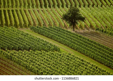 Vineyards in the summer