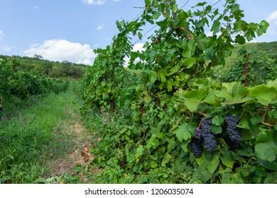 Vineyards in summer harvest. Ripe grapes.