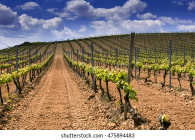 vineyards in summer in La Rioja in Spain