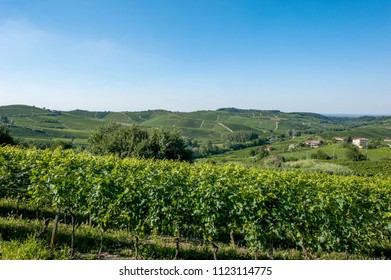 vineyards in summer in the morning