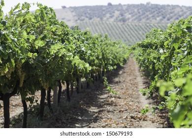 Vineyards in summer In Turkey