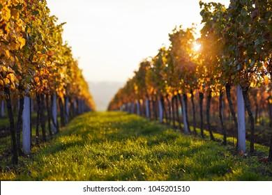 Vineyards at sunset, autumn colors