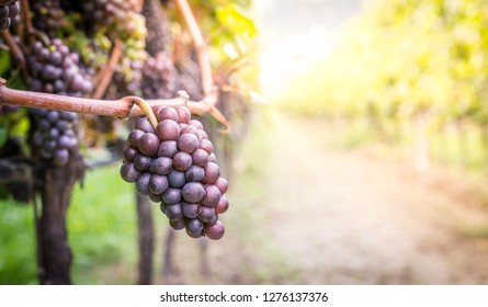 Vineyards at sunset in autumn harvest. Ripe grapes in fall. Blue bunch of grapes. Copyspace