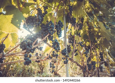 Vineyards at sunset in autumn harvest. Ripe grapes in fall. Eco farming