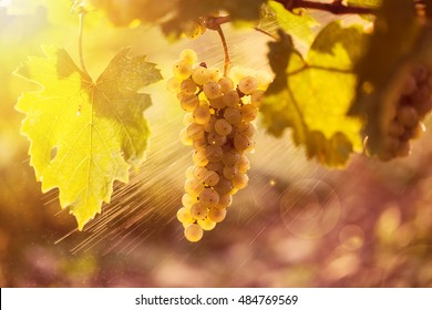 Vineyards at sunset in autumn harvest. Ripe grapes in fall.