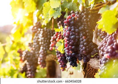 Vineyards at sunset in autumn harvest. Ripe grapes in fall season. Close up of bunches of red wine grapes on vine in a sunset.