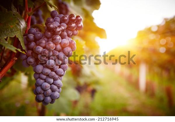 Viñedos al atardecer en la cosecha del otoño. Uvas maduras en otoño.