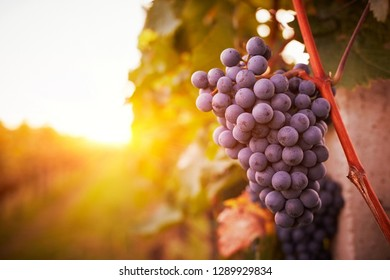 Vineyards at sunset in autumn harvest, toned
