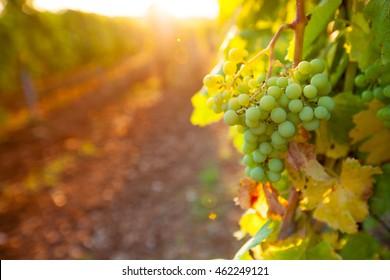 Vineyards at sunset. Ripe grapes.