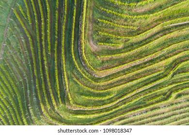 Vineyards, terracing in Valtellina. Aerial photo