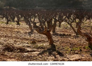 Vineyards in Teruel province. Spain