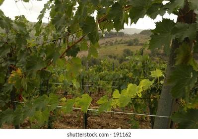 Vineyards - Tuscany, Italy