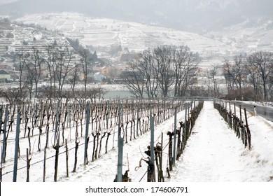Vineyards under snow in winter in Austria