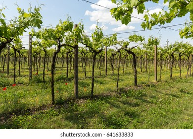 Vineyards in the Valpolicella region in Italy