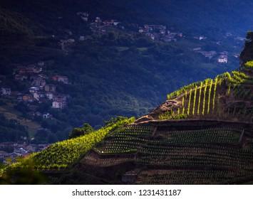 vineyards, Valtellina. Italy
