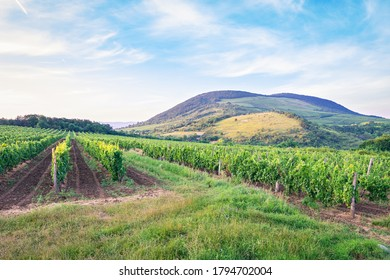 Vineyards in the vicinity of Eger, Hungary. The area is famous for its wine.