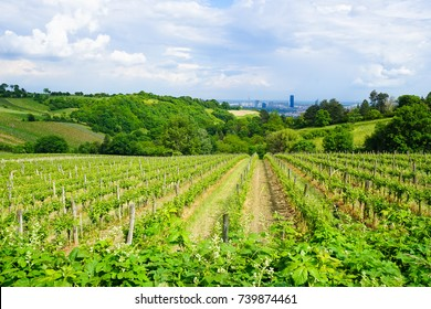 Vineyards in Vienna