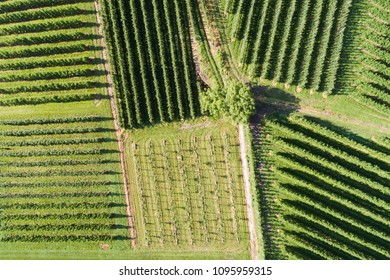 Vineyards view from above with drone. Agriculture in Valtellina
