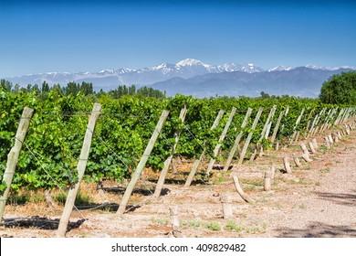 Vineyards. Volcano Aconcagua Cordillera. Andes mountain range, in Maipu, Argentine province of Mendoza