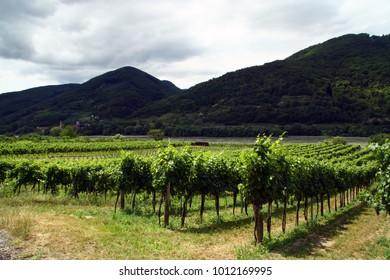 vineyards in Wachau