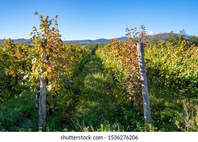 Vineyards of wine area of Georgia Kakheti, Telavi wineyards, Caucasus. Agriculture.