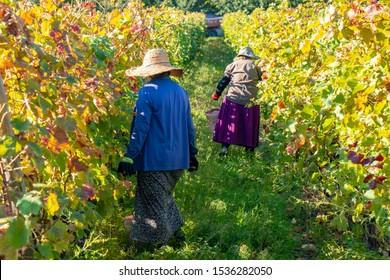 Vineyards of wine area of Georgia Kakheti, Telavi wineyards, rtveli in Kakheti, Caucasus. Agriculture.