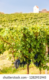 vineyards in Znojmo region, Czech Republic