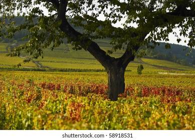Vineyeard of Beaune