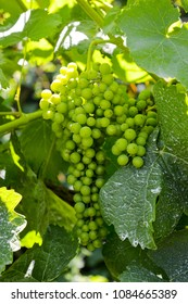 Vinho verde grapes in Portugal