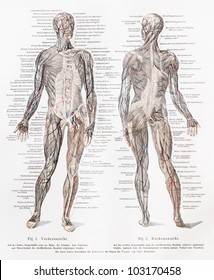 Vintage 19th century drawing of humans muscles and muscles major blood vessels - Picture from Meyers Lexikon book (written in German language) published in 1908 Leipzig - Germany.