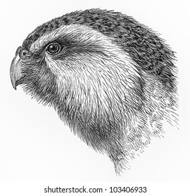 Vintage 19th century drawing of a Kakapo common known as the owl parrot - Picture from Meyers Lexikon book (written in German language) published in 1908 Leipzig - Germany.