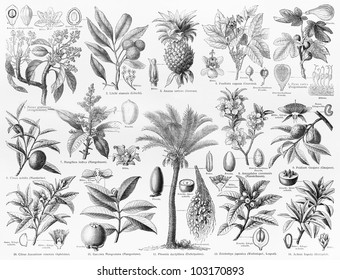 Vintage 19th century drawing representing various species of natural Fruits and seeds - Picture from Meyers Lexikon book (written in German language) published in 1908 Leipzig - Germany.