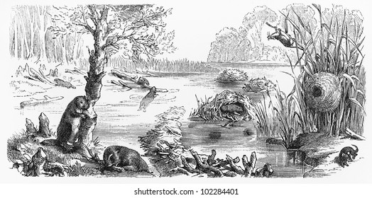 Vintage 19th century old drawing representing a beaver dam and dwarf mouse nest -  Picture from Meyers Lexikon book (written in German language) published in 1908 Leipzig - Germany.