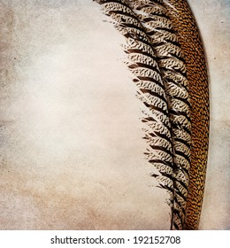 Vintage background with pheasant feather